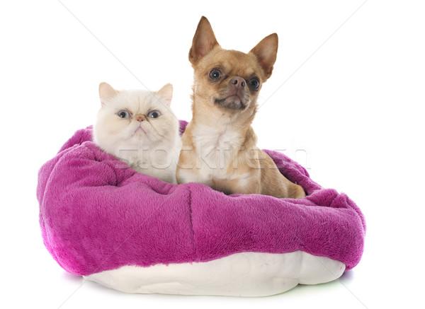エキゾチック ショートヘア 猫 犬 目 青 ストックフォト © cynoclub