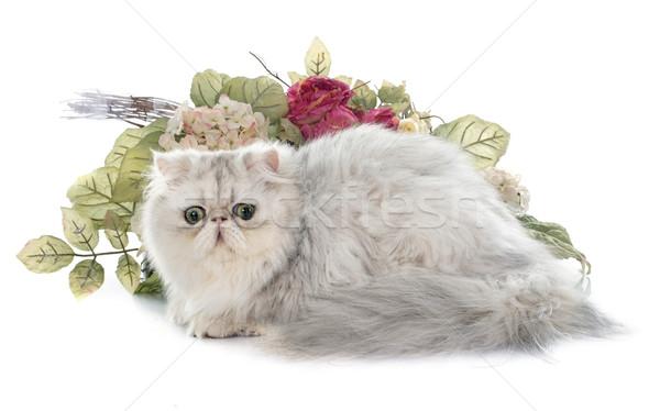 персидская кошка белый животного студию котенка серебро Сток-фото © cynoclub