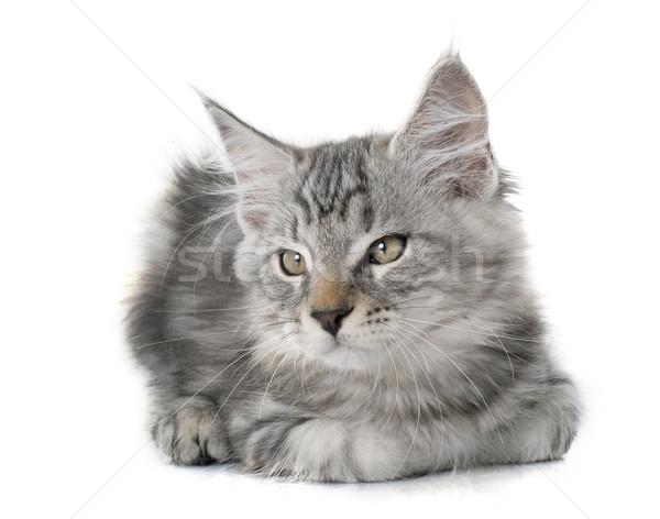 maine coon kitten Stock photo © cynoclub