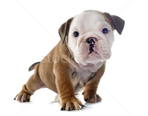 puppy english bulldog Stock photo © cynoclub