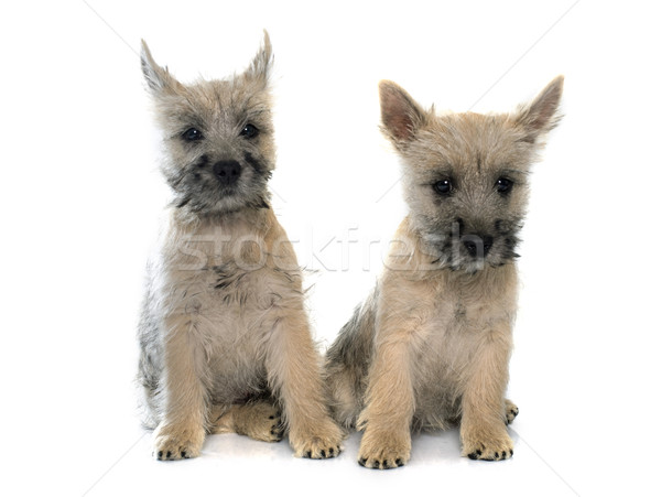 puppies cairn terrier Stock photo © cynoclub