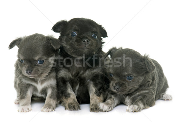puppies longhair chihuahua Stock photo © cynoclub