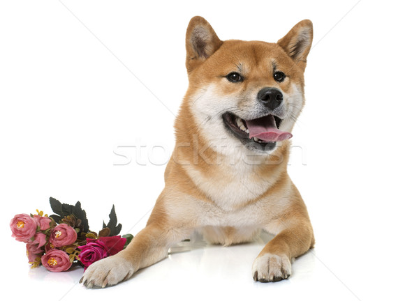 young shiba inu and flower Stock photo © cynoclub