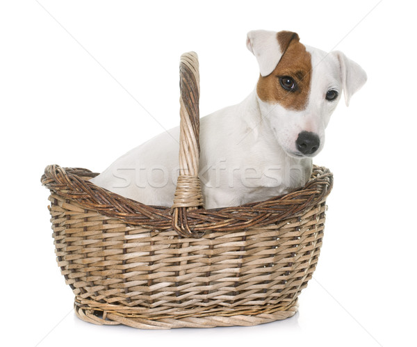 young jack russel terrier in basket Stock photo © cynoclub