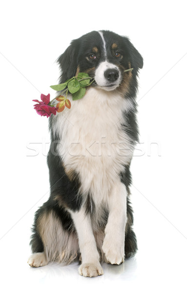 tricolor australian shepherd and flower Stock photo © cynoclub