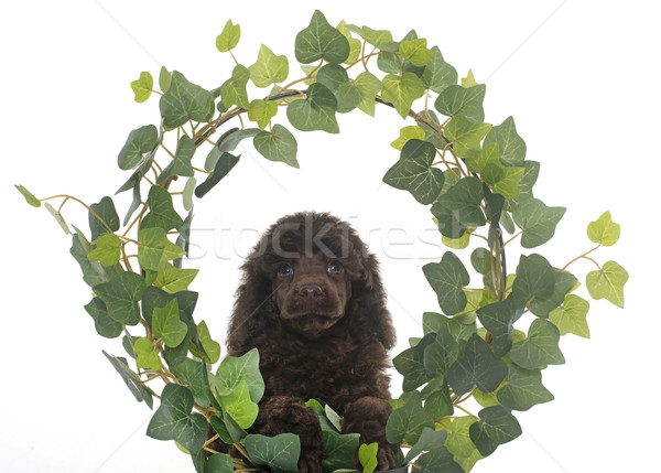 puppy brown poodle in ivy Stock photo © cynoclub