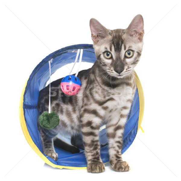 young bengal cat in tunnel Stock photo © cynoclub
