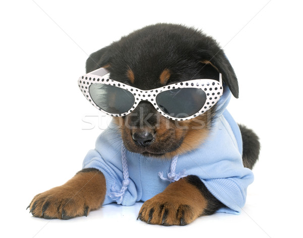 dressed beauceron puppy in studio Stock photo © cynoclub