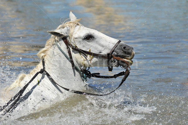 swimming Camargue horses Stock photo © cynoclub