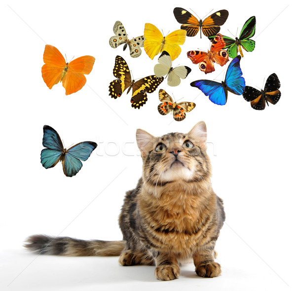 young norwegian cat and butterfly Stock photo © cynoclub