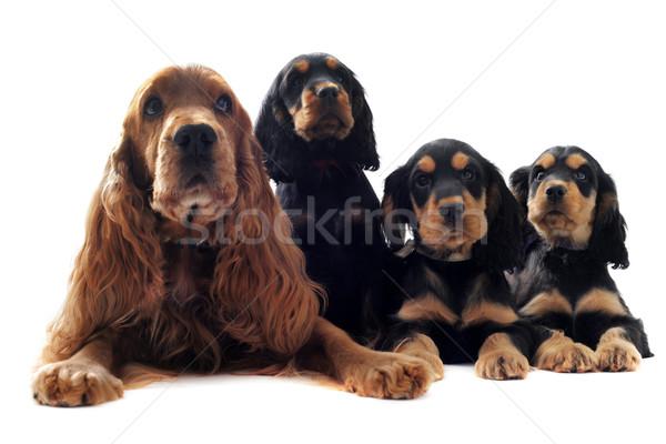 family english cocker Stock photo © cynoclub
