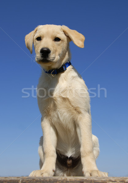 puppy labrador Stock photo © cynoclub