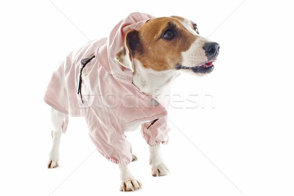 Terrier esőkabát portré fajtiszta stúdió kutya Stock fotó © cynoclub