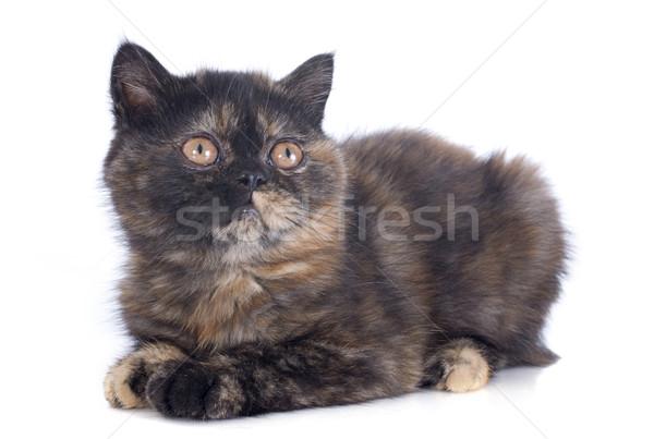 Stockfoto: Exotisch · korthaar · kitten · witte · kat