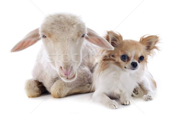 young lamb and chihuahua Stock photo © cynoclub