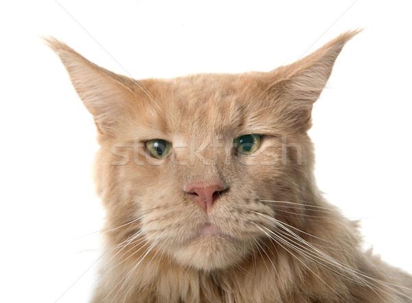 Мэн кошки белый голову животного мужчины Сток-фото © cynoclub