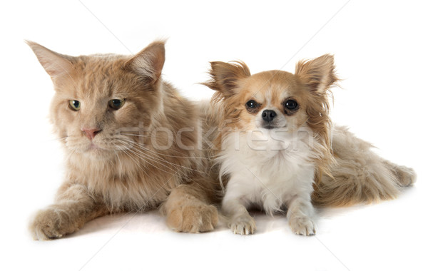 Stock photo: maine coon cat and chihuahua