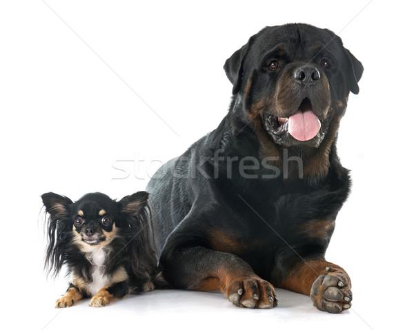 Zdjęcia stock: Rottweiler · zwierząt · mężczyzna · odizolowany · dorosły