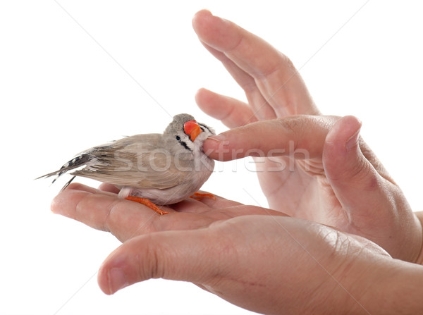 stroking female Zebra finch Stock photo © cynoclub