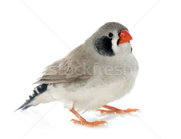 male Zebra finch Stock photo © cynoclub