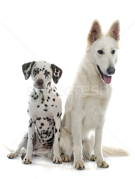 swiss shepherd and dalmatian Stock photo © cynoclub