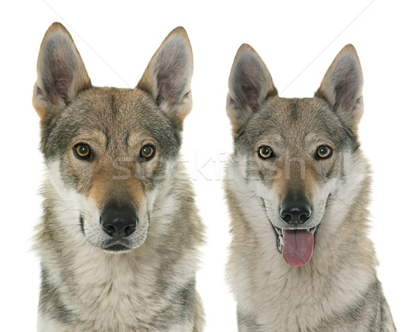 волка собаки белый группа портрет голову Сток-фото © cynoclub