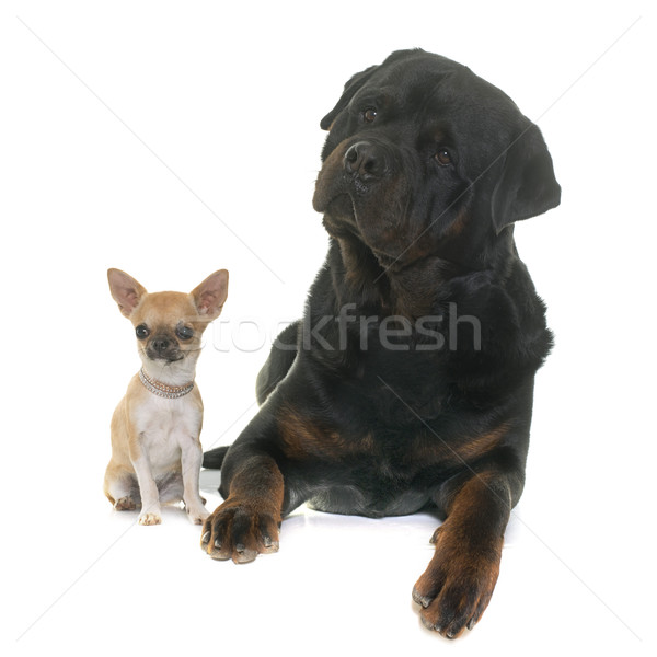 Photo stock: Chiot · rottweiler · blanche · studio · animal · fond · blanc