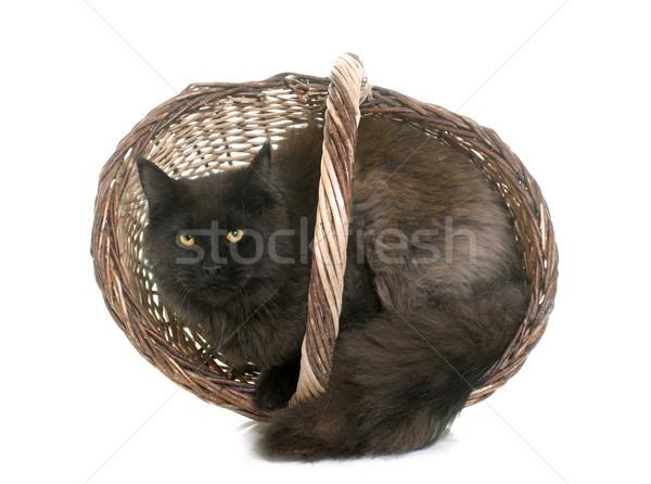 Barna Maine macska állat stúdió játszik Stock fotó © cynoclub