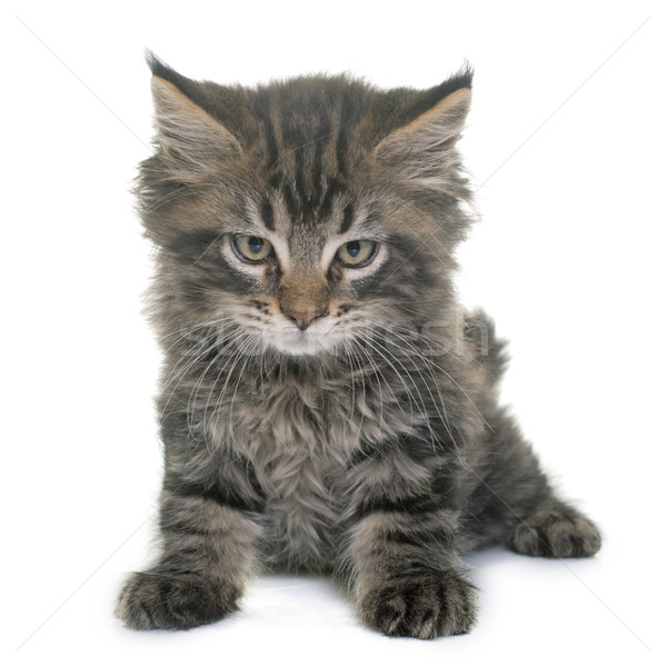 Stockfoto: Maine · kitten · witte · kat · triest · huisdier