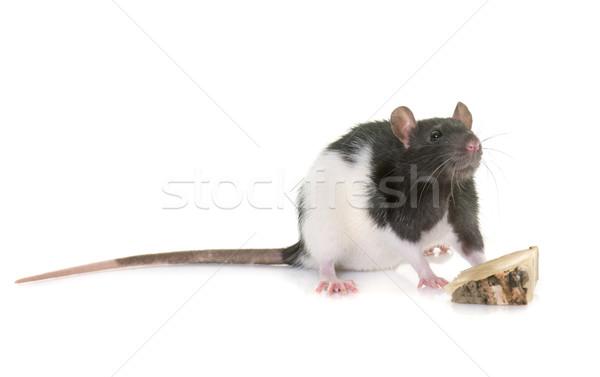 domestic rat in studio Stock photo © cynoclub