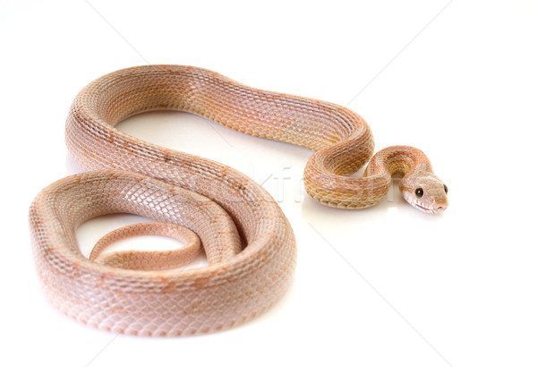 corn snake in studio Stock photo © cynoclub