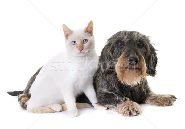 ダックスフント 子猫 古い 白 猫 動物 ストックフォト © cynoclub