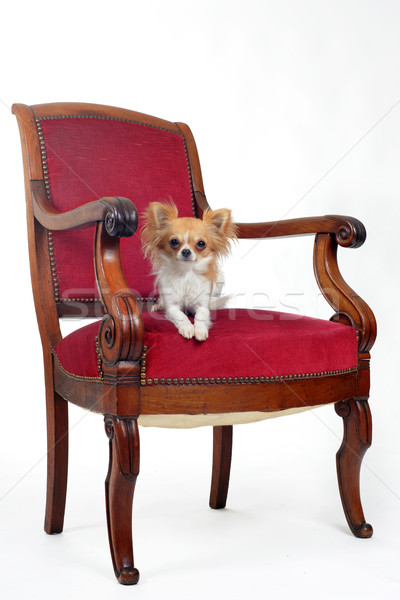 antique chair and chihuahua Stock photo © cynoclub