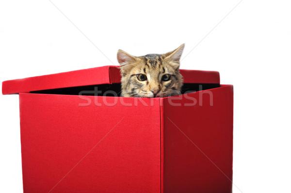cat in box Stock photo © cynoclub