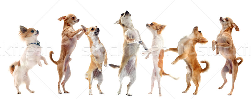 Stock photo: chihuahuas upright