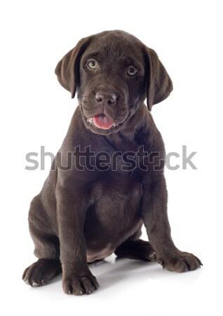 Cachorro labrador retriever blanco retrato sesión Foto stock © cynoclub