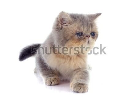 子猫 エキゾチック ショートヘア 猫 白 ストックフォト © cynoclub