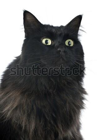 黒猫 白 猫 緑 頭 スタジオ ストックフォト © cynoclub