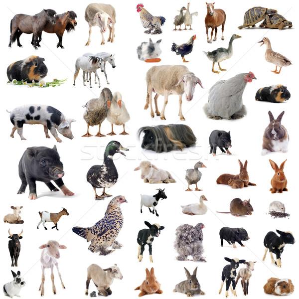 farm animals Stock photo © cynoclub