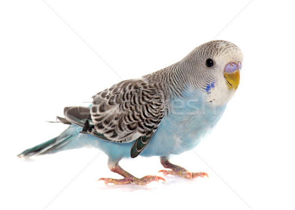 Stock photo: common pet parakeet