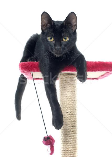 черный котенка играет счастливым кошки студию Сток-фото © cynoclub