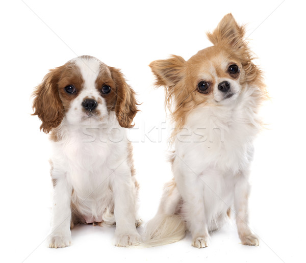 puppy cavalier king charles and chihuahua Stock photo © cynoclub