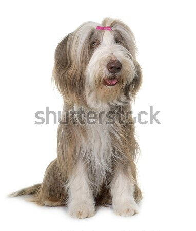 female bearded collie Stock photo © cynoclub