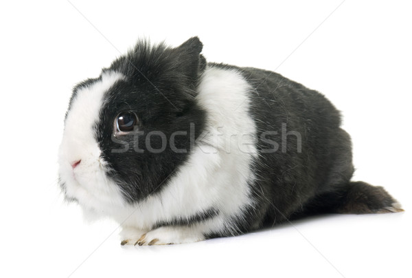 Enano conejo estudio blanco granja vacaciones Foto stock © cynoclub