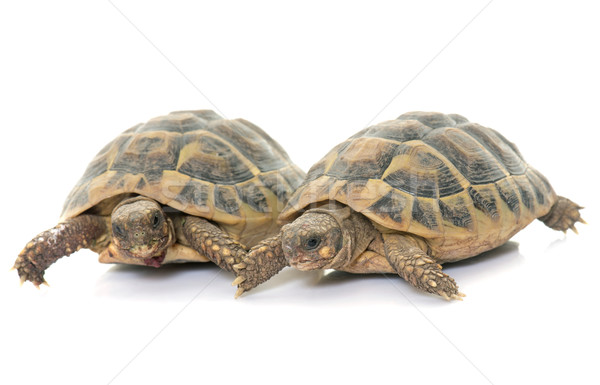 Testudo hermanni tortoise  Stock photo © cynoclub