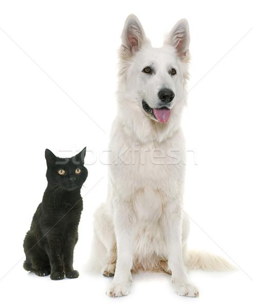 白 羊飼い 犬 黒猫 ストックフォト © cynoclub