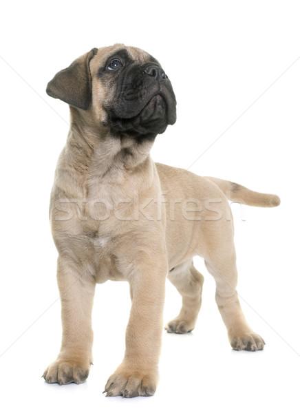 puppy bull mastiff Stock photo © cynoclub