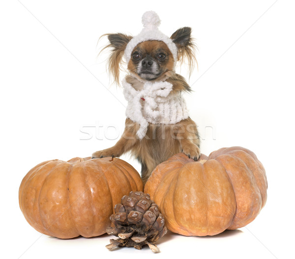 halloween pumpkin and chihuahua  Stock photo © cynoclub