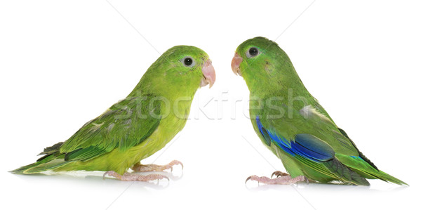 Pacific parrotlet in studio Stock photo © cynoclub