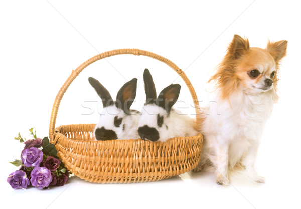 young Checkered Giant rabbits and chihuahua Stock photo © cynoclub
